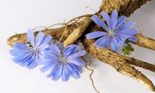 Chicory is an inexhaustible source of excellent health