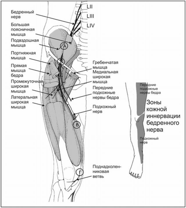 Femoral nerve: anatomy, physiology, symptoms and treatment of diseases